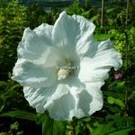 Hibiscus syriacus Diana (1)