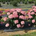 Hydrangea arborescens Incrediball Blush