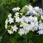 Hydrangea macrophylla Double Dutch Light (2)