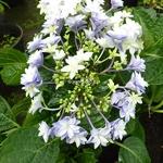Hydrangea macrophylla Double Dutch Light (1)