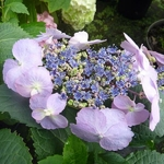 Hydrangea serrata Blue Berry Cheese Cake