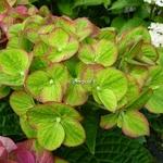 Hydrangea macrophylla Greenfire (2)