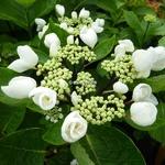 Hydrangea macrophylla Choco Chic (2)