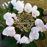 Hydrangea macrophylla Rendez-vous Choco Chic (2)