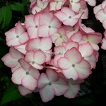 Hydrangea macrophylla Blue Baby Blues (3)