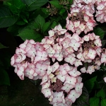 Hydrangea macrophylla Blue Baby Blues (1)