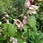 Magnolia Fairy Blush (3)