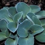 Hosta Blue Mouse Ears (1)
