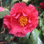 Camellia japonica Holly Bright (1)