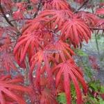 Acer palmatum Trompenburg (18)