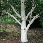 Betula utilis (2)