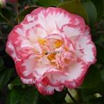 Camellia japonica Margaret Davis (2)