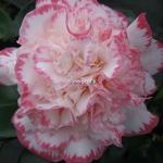 Camellia japonica Margaret Davis (5)