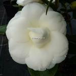 Camellia japonica Nuccios Gem (2)