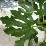 Ficus carica Goutte dOr (2)