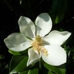 Magnolia grandiflora François Treyve (1)