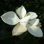 Magnolia grandiflora Little Gem (1)
