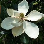 Magnolia grandiflora Little Gem (2)