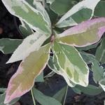 Osmanthus fortunei Variegata (1)
