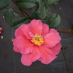 Camellia williamsii Senorita (5)