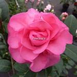 Camellia williamsii Debbie (3)