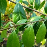 Chimonanthus nitens (2)