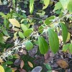 Chimonanthus nitens (1)