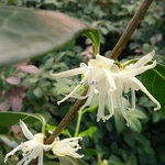 Chimonanthus nitens (4)