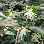Chimonanthus nitens (5)