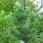 Cryptomeria japonica Bandai Sugi (2)