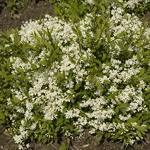 Deutzia gracilis Nikko (2)
