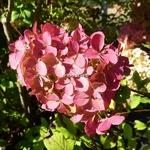 Hydrangea paniculata Fraise Melba (2)