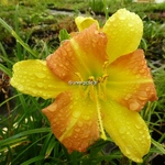 Hemerocallis EveryDayLily Yellow Punch (1)