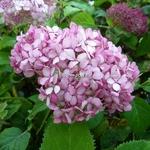 Hydrangea arborescens Ruby Annabelle (1)