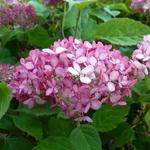 Hydrangea arborescens Ruby Annabelle (2)