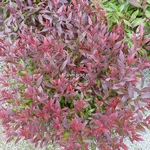 Leucothoe Little Flames (1)