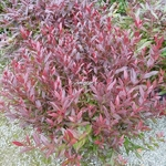 Leucothoe Little Flames (2)