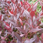 Leucothoe Little Flames (3)