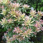 Pieris Flaming Silver (3)