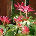 Pieris Flaming Silver (4)