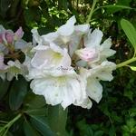 Rhododendron Polar Bear