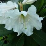 Rhododendron Polar Bear (1)