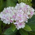 Hydrangea serrata Akishino Temari (1)
