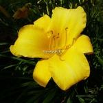 Hemerocallis Spanish Treasure (3)