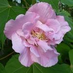Hibiscus mutabilis Wallis (1)