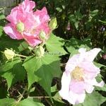 Hibiscus mutabilis Wallis (4)