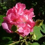 Hibiscus mutabilis Wallis (7)