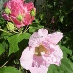 Hibiscus mutabilis Wallis (6)