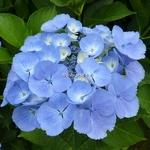Hydrangea macrophylla Blauling (4)