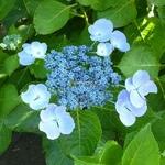 Hydrangea macrophylla Blauling (7)
